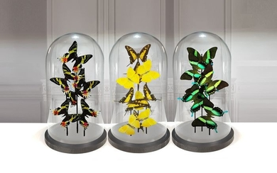 Collectors set or Finest quality mixed Butterflies under 3 Large Glass Domes - Various species - 40×23×23 cm
