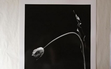 Tulip - Robert Mapplethorpe