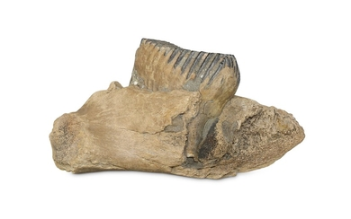 WOOLLY MAMMOTH (MAMMUTHUS PRIMIGENIUS), A MOLAR LOWER JAW
