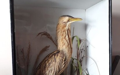 Antique Great Bittern - in glazed case, with label in verso - Victorian Example by T.E.Gunn of Norwich -Botaurus stellaris - 11×25×20 in - N/A