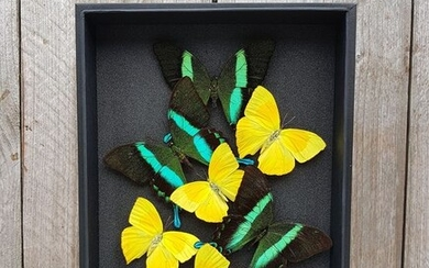 Quality mixed Butterflies in glazed display case - Papilio blumei & Phoebis rurina - 31×6×23 cm