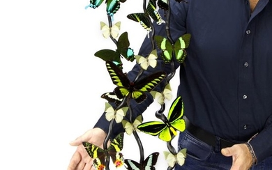 Exotic Butterfly Display under glass display case including Birdwings - Trogonoptera brookiana, Ornithoptera priamus poseidon and others - 630×330×230 mm
