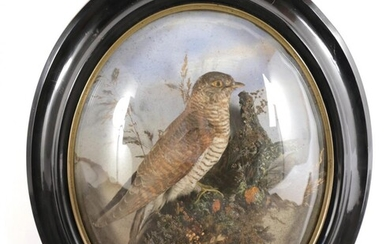 Taxidermy: A Late Victorian Oval Wall Domed Common Cuckoo (Cuculus...
