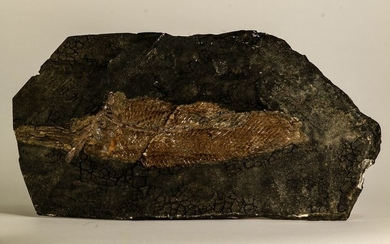 Eocene 7.09 Inch Atractosteus straussi Fossil Fish - Messel Shale