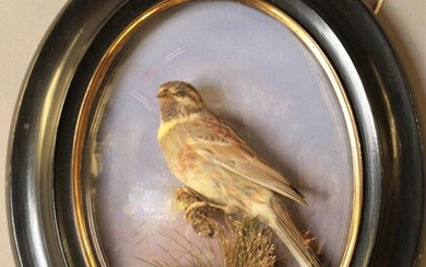 Taxidermy: A Late Victorian Oval Wall Domed Cirl Bunting (Emberiza...