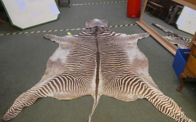 An adult Zebra skin, measured from tip of tail to nose & fro...