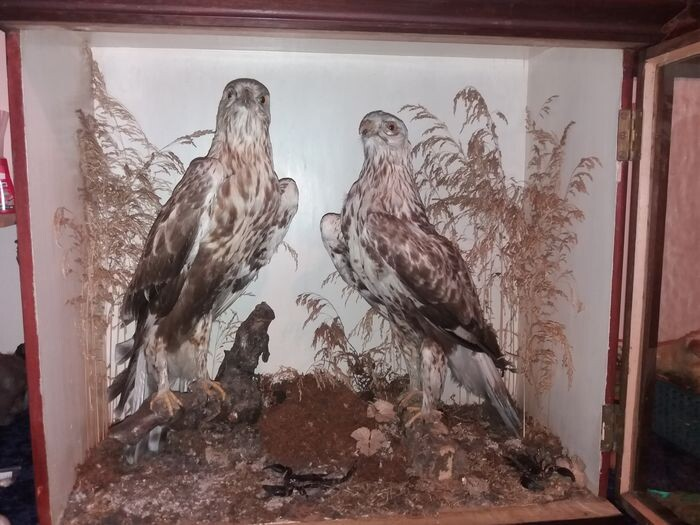 Antique Victorian Diorama with Rough-legged Buzzards in front-glazed display case - Buteo lagopus (with Appraisal Report confirming pre-1947) - 290×640×680 mm