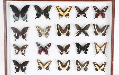 Entomology: A Large Glazed of Display of World Butterflies, circa...