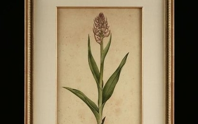 "JAMES SOWERBY (English 1757-1822) A PRINT, ""Orchis"