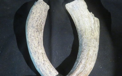 Bison or Wisent Horn Cores - - - Bos sp. - 45×8×8 cm