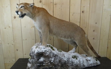 North American Mountain Lion, aka Cougar - full body - splendid mount on artificial rock - Puma concolor - 160×50×110 cm