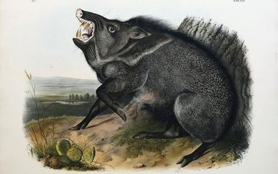 Audubon Lithograph, Collared Peccary