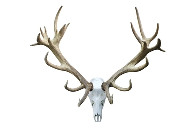A SET OF RED DEER ANTLERS