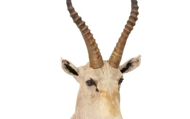 Shoulder mounted African antelope. H. 82 cm.