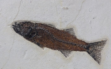 Outstanding fossil fish - Big size - Bones raised from matrix - Mioplosus labracoides ( the fish is 26.5 cm !! ) - 50×40×2 cm