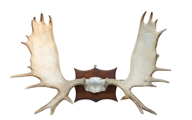 A SET OF RECORD CLASS AMERICAN MOOSE ANTLERS
