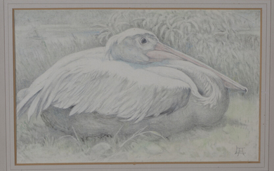Lilian Andrews - 'Pelican Resting', pencil and pastel on vellum paper laid on board, signe