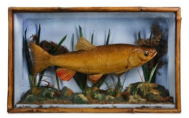 TAXIDERMY: A LATE 19TH / EARLY 20TH CENTURY FISH IN DISPLAY CASE