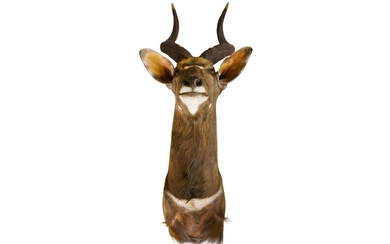 TAXIDERMY: A NYALA SHOULDER MOUNT, MODERN