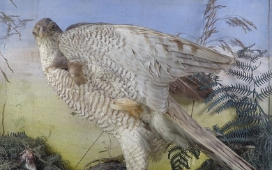 TAXIDERMY - a Sparrowhawk clutching a Starling, on a natural...