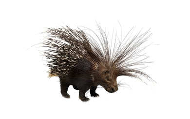 TAXIDERMY: A CAPE PORCUPINE (HYSTRIX AFRICAEAUSTRALIS), FULL MOUNT