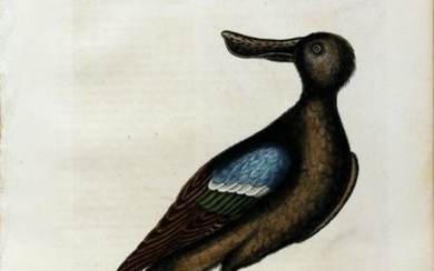 Catesby Engraving, The Blue Winged Shoveler