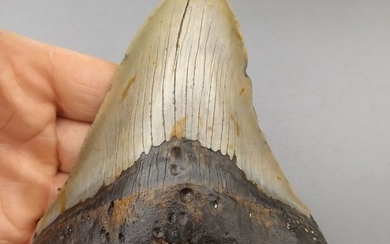 Large Megalodon - Tooth - Carcharocles megalodon - 132×103×27 mm