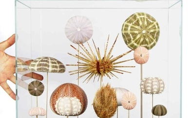 Mixed Sea Urchins on standards in glazed display case - Echinoidea sp. - 375×410×230 mm