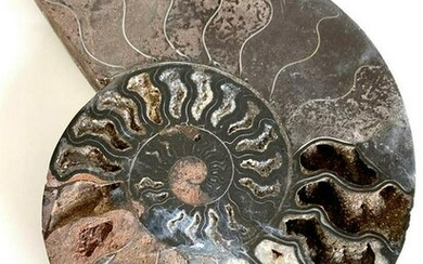 Unique slice of a pyritized ammonite fossil from