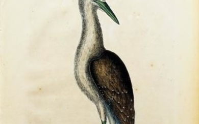 Catesby Engraving, The Brown Bittern