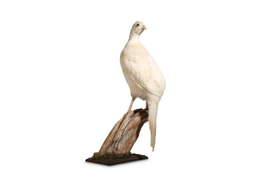 A TAXIDERMY WHITE PHEASANT ON A BRANCH