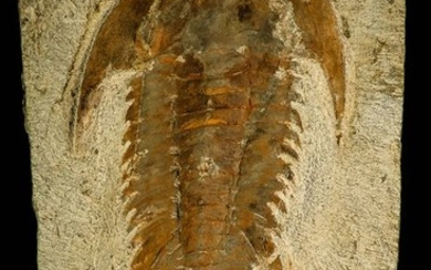 Trilobite - Top Quality 127.1 mm Myopsolenites boutiouiti Middle Cambrian