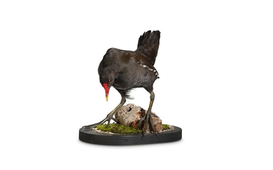 A TAXIDERMY MOORHEN