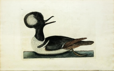 Catesby Engraving, The Round Crested Duck