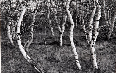 William F. Lemke (WI, 20th Century), Aspens #1, Gelatin Silver Print, 1985 EV1DN