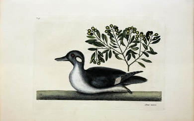 Catesby Engraving, The Little Brown Duck