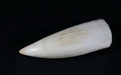 A Whales Tooth (L:16cm)