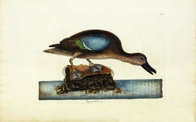 Catesby Engraving, The Blue-Winged Teal