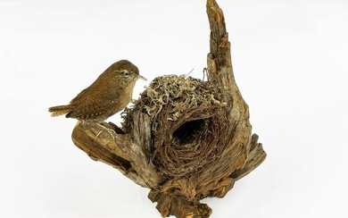 Eurasian Wren with nest - on natural base - Troglodytes troglodytes - 20×15×15 cm