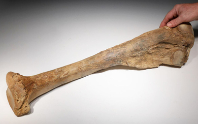 Rare complete Mammoth lower arm bone fossil